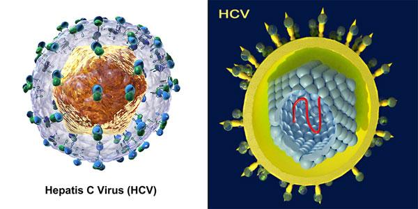 virus-hcv